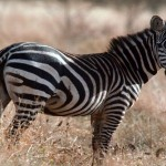 33 Free Zebra Print Backgrounds Wallpapers HD