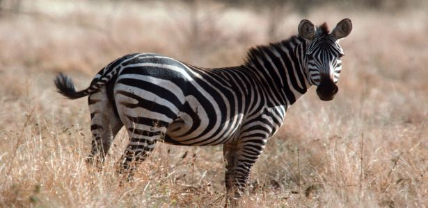 free-zebra-wild-wallpapers-download